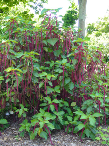 Chenille Red-Hot Cattail (acalypha hispida) #ACA-HIS