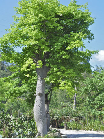 African Baobab Bottle Tree (adansonia digitata) #ADA-DIG