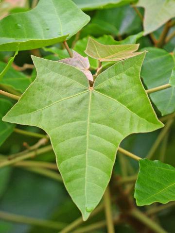 Kukui Nut, Candlenut Tree (aleurites moluccana) #ALE-MEL
