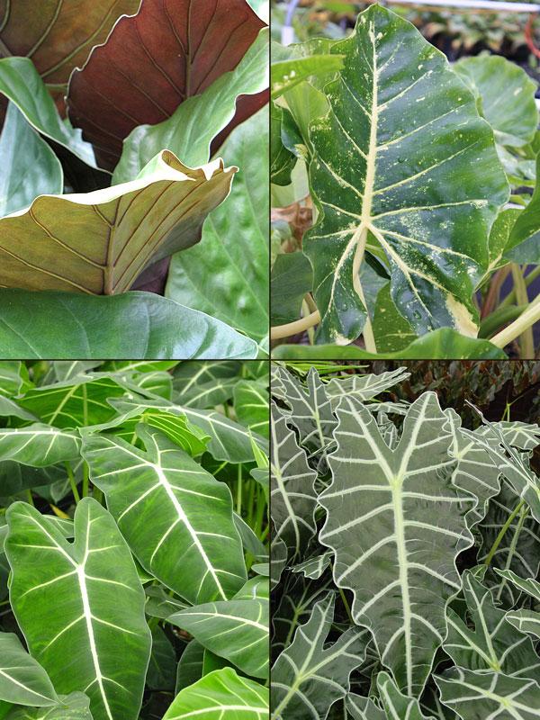 Lg 4 Plant Elephant Ear Mix Alocasia Sp Urban Tropicals