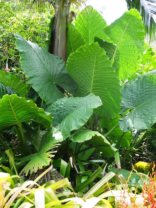 Lg Giant Borneo King Elephant Ear Plant Alocasia Sp Urban