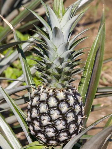 Elite Gold Pineapple Plant (ananas cosomus) #ANA-CEG