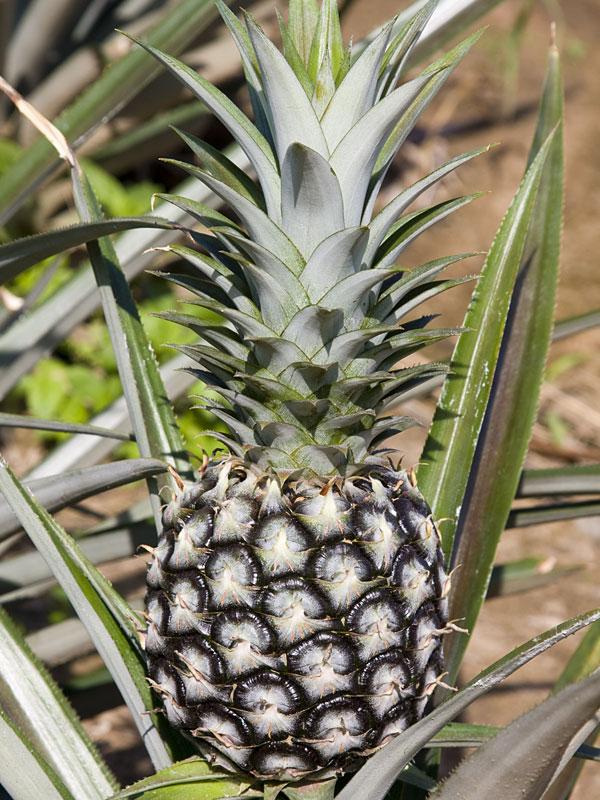 4 Elite Gold Pineapple Plants