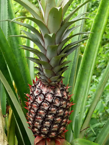 Smooth Cayenne Pineapple Plant (ananas cosomus) #ANA-CSC