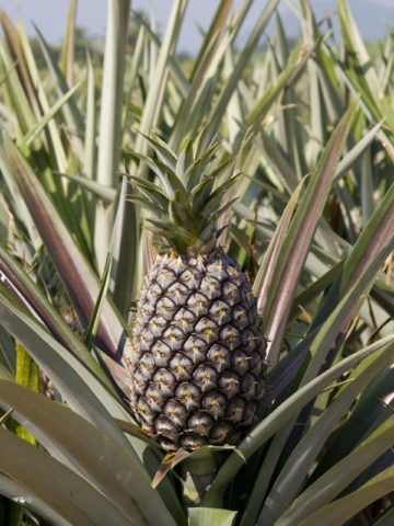 Sugarloaf Pineapple Plant (ananas cosomus) #ANA-CSP