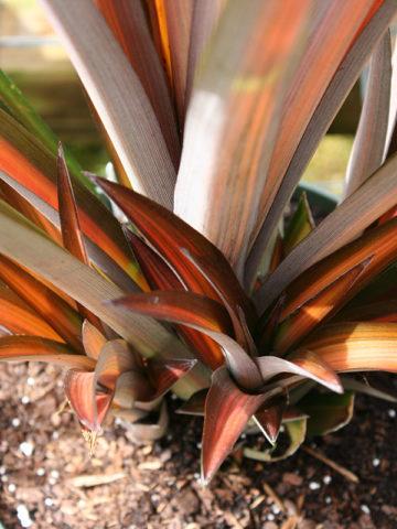 Brazilian Sunset Pineapple Plant (ananas lucidus) #ANA-ZPU