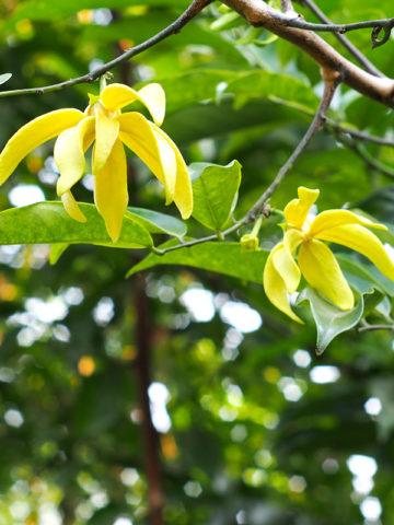 Fragrant Ylang Ylang Vine (artabotrys siamensis) #ART-SIA