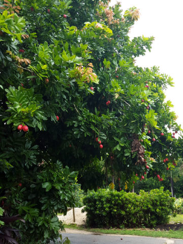 Akee Apple Tree (blighia sapida) #BLI-SAP