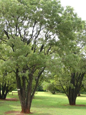 Lavender Tree Wisteria (bolusanthus speciosus) #BOL-SPE