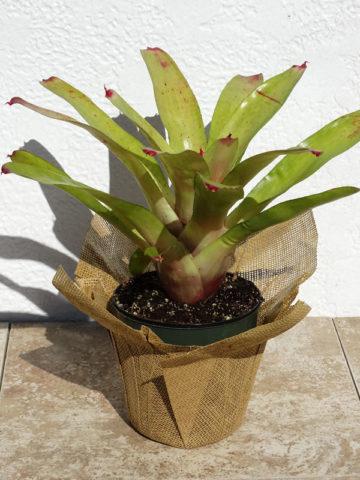 Allure Bromeliad Plant (bromelia neoregelia) #BRN-ALL