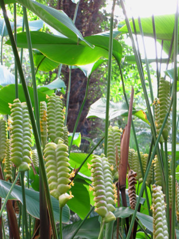 Cream Green Rattlesnake Plant (calathea crotilifera) #CAL-CRG