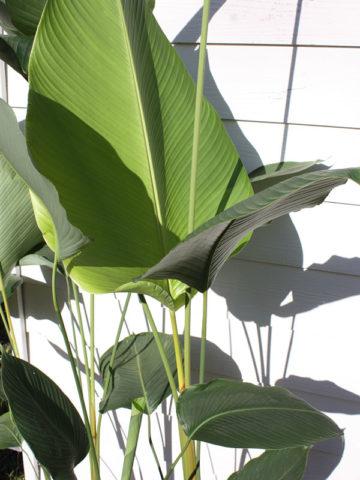 Giant Rattlesnake Plant (calathea crotilifera) #CAL-GIR