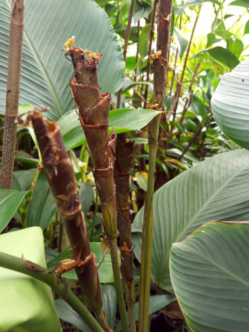 Black Cigar Flower Plant (calathea marantina) #CAL-MBC