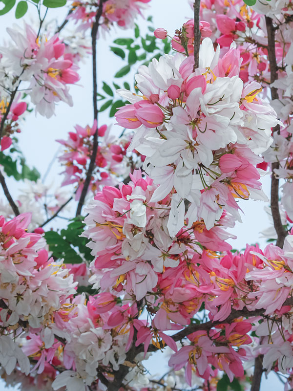 Pink Shower Tree Cassia Grandis Urban Tropicals