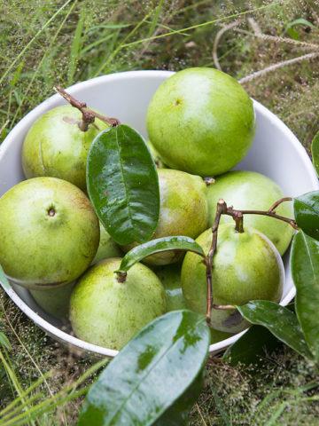 White Star Apple (chrysophyllum cainito blanco) #CHR-BLA