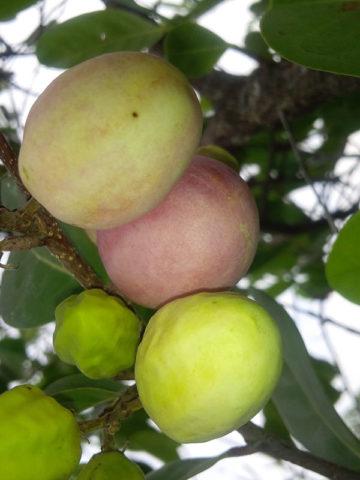 Red Tip Paradise Cocoplum Bush (chrysobalanus icaco) #CHR-ICP