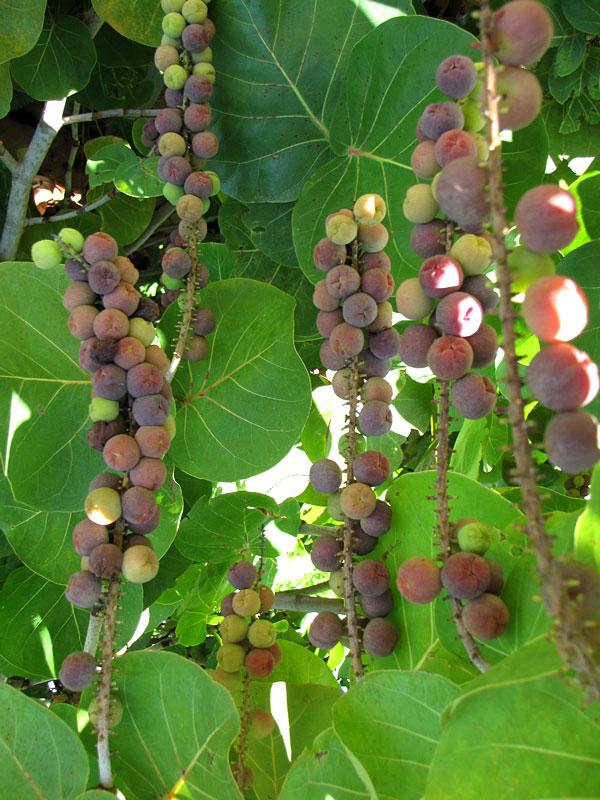 Sea Grape Coccoloba uvifera