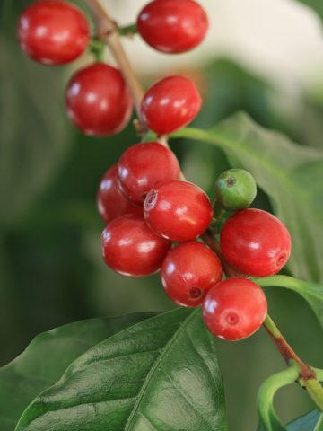 Kona Coffee Bush (coffea arabica) #COF-ARA