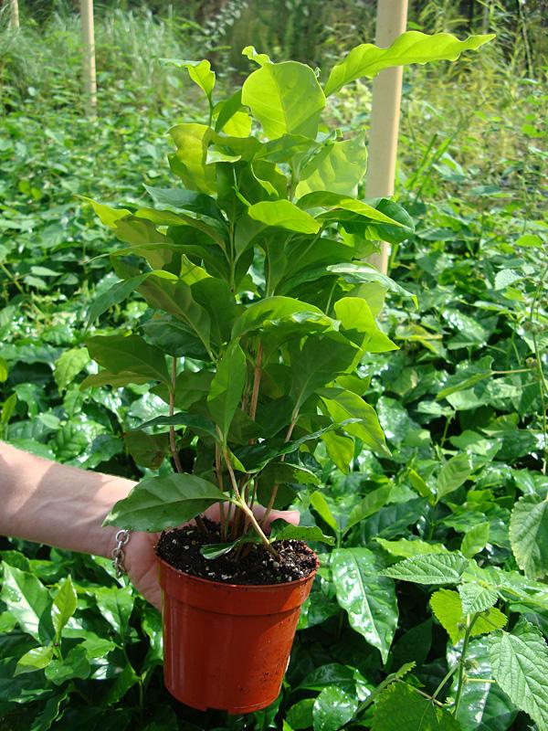 Kona Coffee Bush Coffea Arabica Urban Tropicals