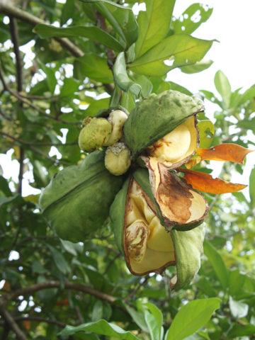 Caffeine Kola Nut Tree (cola nitida) #COL-COK