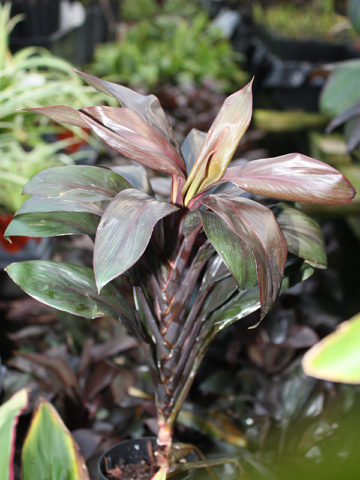 ALOHA Purple Hawaiian Ti Plant (cordyline) #COR-APL