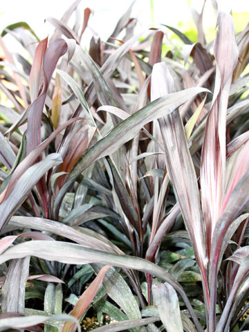 Black Strap Hawaiian Ti Plant (cordyline) #COR-BUB
