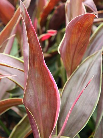 Cappuccino Hawaiian Ti Plant (cordyline) #COR-CAP