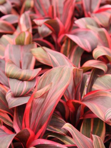 Electra Hawaiian Ti Plant (cordyline) #COR-ELE