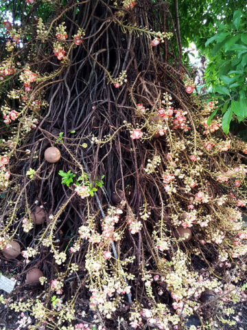 Cannonball Tree (couroupita guianensis) #COU-GUI