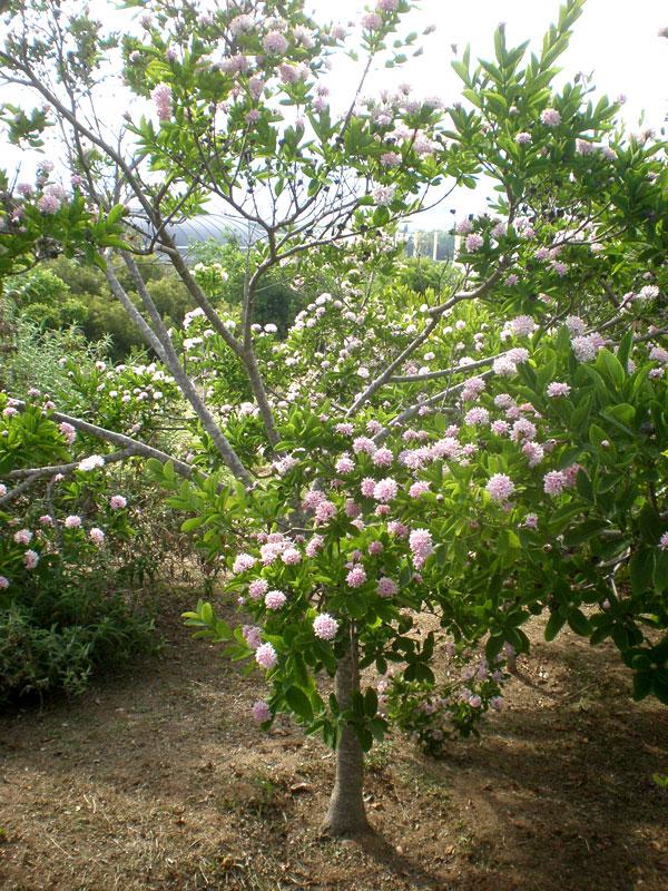 Fragrant Pompom Tree Dais Cotinifolia Urban Tropicals