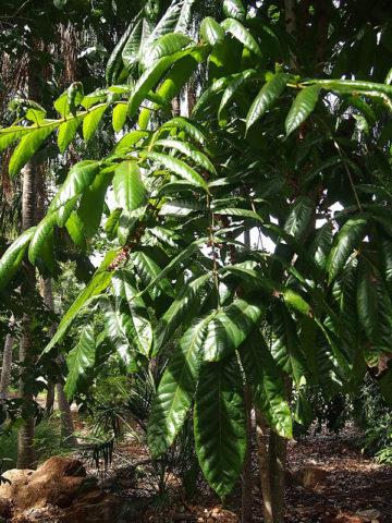 Australia Davidsons Plum (davidsonia pruriens) #DAV-PRU