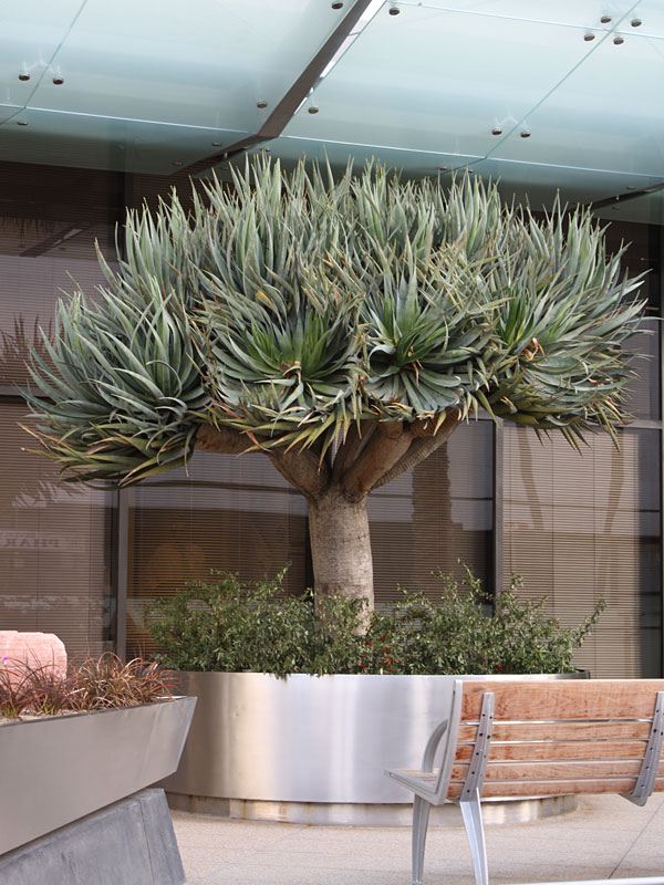 Canary Island Dragon Tree Dracaena Draco Urban Tropicals
