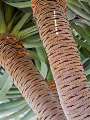 Canary Island Dragon Tree (dracaena draco) #DRA-DRA