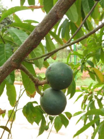 Blue Marble Rudraksha Tree (elaeocarpus ganitrus) #ELA-GAN