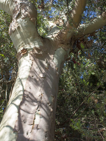 Eucalyptus Lemon Zest Tree (eucalyptus citriodora) #EUC-CIT