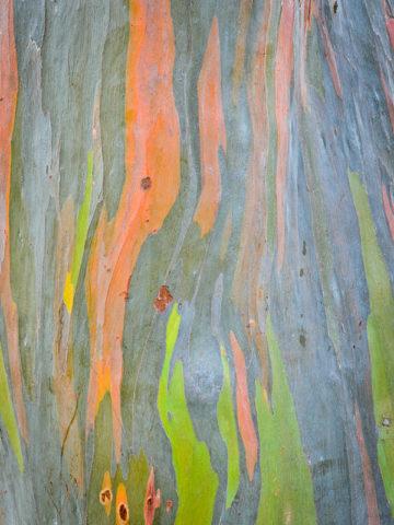 Eucalyptus Rainbow Tree (eucalyptus deglupta) #EUC-DEG