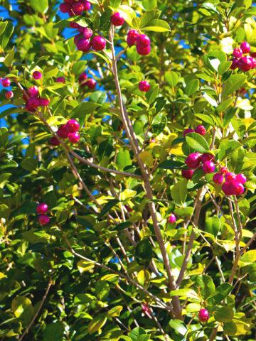 Magenta Lilly Pilly Fruit Tree (eugenia myrtifolia) #EUG-MYR