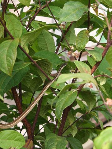 Araza Araca-boi Fruit Tree (eugenia stipiata) #EUG-STI