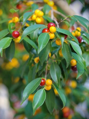 Weeping Evergreen Fig Tree (ficus benjamina) #FIB-BEE