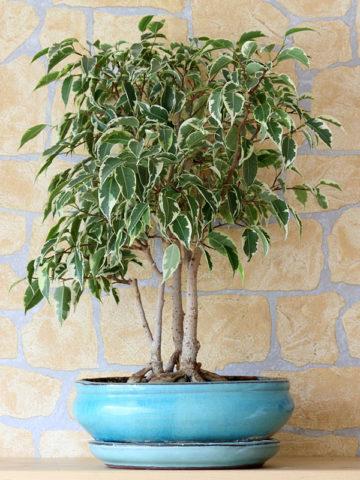 FIVariegated Weeping Fig Tree (ficus benjamina variegata) #FIB-BEV