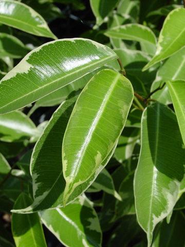 Variegated Weeping Fig Tree (ficus benjamina variegata) #FIB-BEV