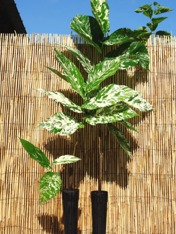 Clown Fig Tree (ficus aspera parcelli) #FIC-ASP