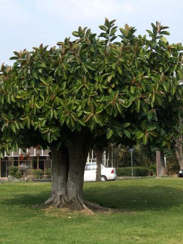 Burgundy Rubber Tree (ficus elastica) #FIC-BUR