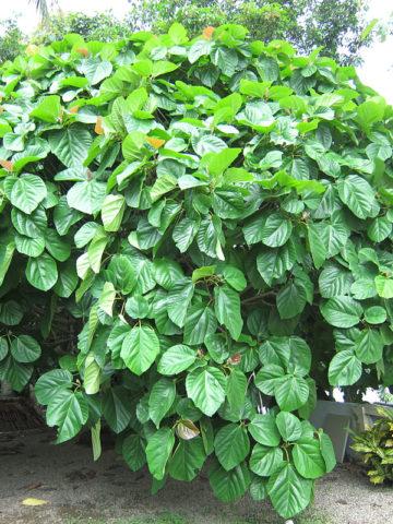 Roxburgh Fig Tree (ficus auriculata) #FIC-BXB