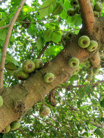 FICRoxburgh Fig Tree (ficus auriculata) #FIC-BXB