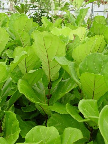 Fig Leaf Ficus Tree (ficus lyata suncoast) #FIC-LSU