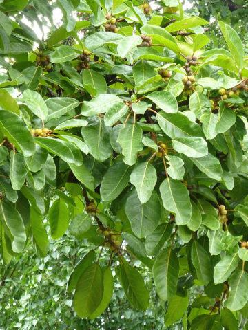 Eastern Cape Large Leaf Tree (ficus lutea) #FIC-LUE