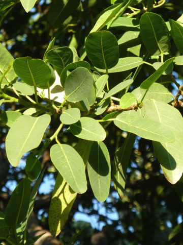 Natal Mutuba Fig Tree (ficus natalensis) #FIC-NAT