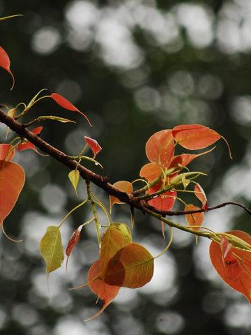 Sacred Fig Tree (ficus religiosa) #FIC-RSF