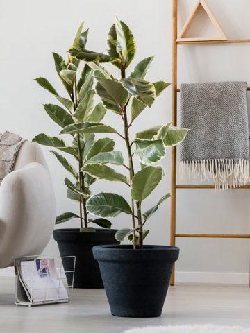 Tineke Rubber Tree (ficus elastica) #FIC-TIN